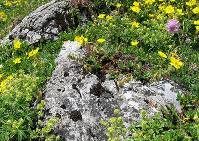 Blumenpracht Alp Mora