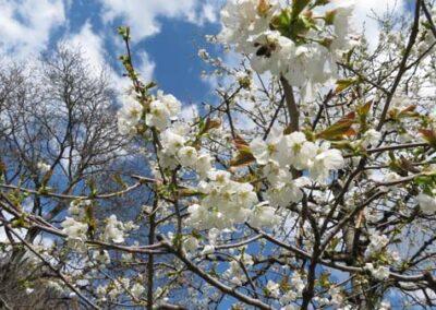 Obstbäume in Blütenpracht