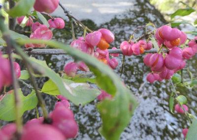 Pfaffenhut, Früchte