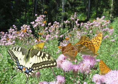 Schwalbenschwanz und Kaisermantel Schmetterlinge