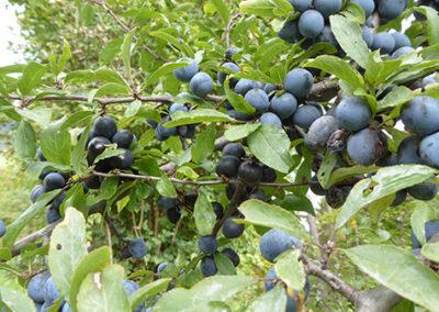 Schwarzdornfrüchte als wertvolle Vogelnahrung im Winter